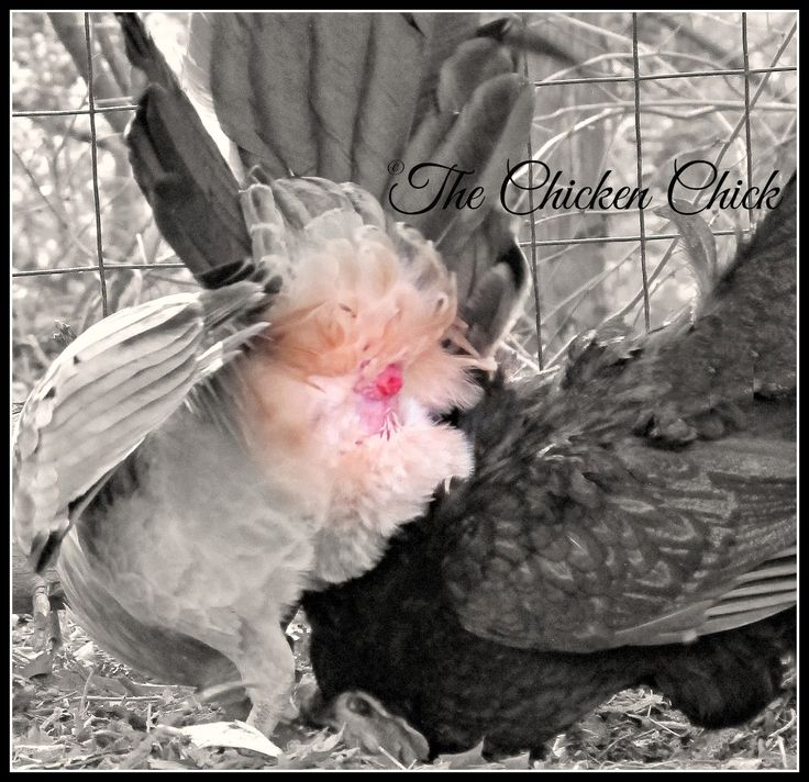 Chicken Mating: How Does That Work? | The chicken, The ...