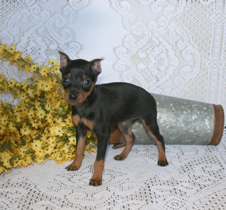pinterest doberman   Cute Poodle Toy Puppy For Sale $550 Fancy Black And White