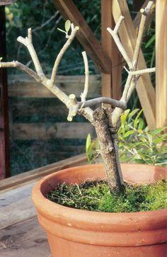 Olivenbäume richtig schneiden