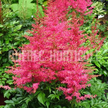 image de Astilbe arendsii Jump and Jive