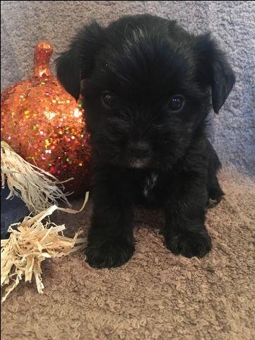 Shorkie Tzu puppy for sale in CLAY CITY, KY. ADN-43409 on PuppyFinder.com Gender: Male. Age: 4 Weeks Old