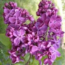 Lilac Bushes For Sale | Nature Hills Nursery