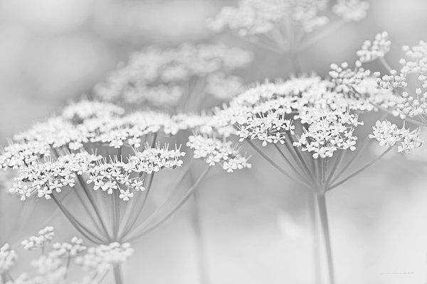 Soft silver gray little white flower photography art for your home or office decor. #gray #grey #silver #flower