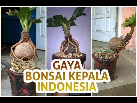 11 Bonsai Kelapa Bakalan Bonsai Kelapa Bonsai Kelapa Indonesia