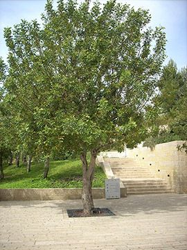 The tree planted in honor of Irena Sendler. Yad Vashem, 2012