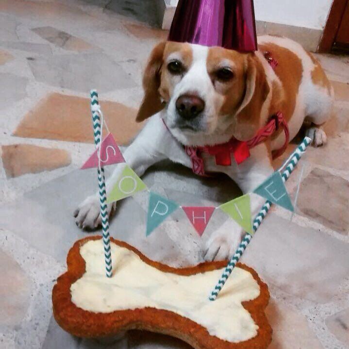 Sophie y sus hermanos celebraron su cumpleaños con una torta hecha especialmente para ella!  Que cumplas muchos más!  #PerroFeliz #chachayelgalgo #pasteleriacanina #paletasparaperros #amorperruno #mascotas #peluditos #alimentacioncanina #petfriendlycali #tortasparaperros #cumpleañosperruno #cumpleañosparaperros #YoCreoEnCali #cali #calico #colombia #beagle