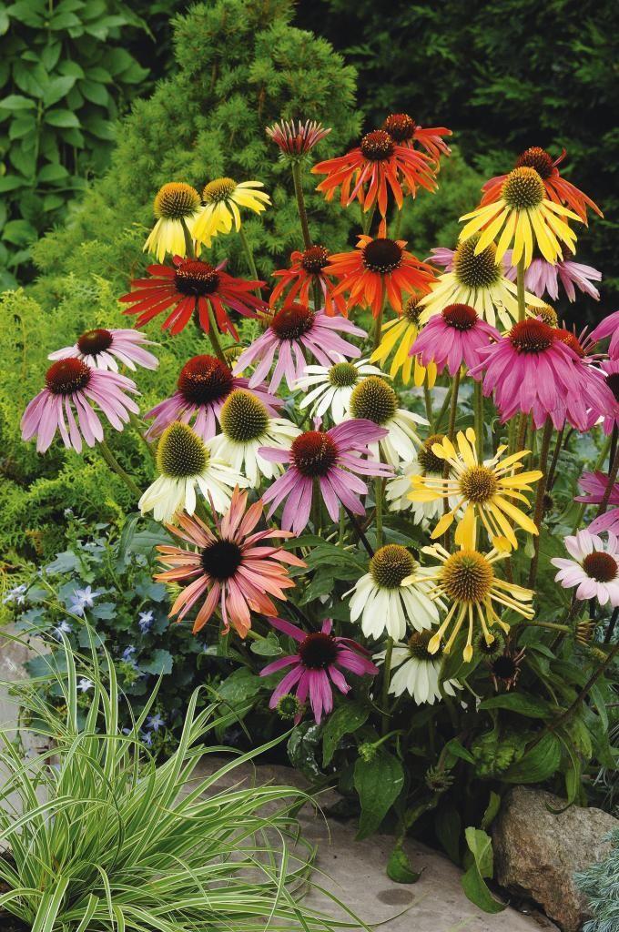 Läkerudbeckia, Echinacea x hybrida | En färgsprakande mix av flera olika arter av rudbeckia, många färger ingår. Solhatt används i olika naturläkemedel mot förkylning. De tjocka svarta rötterna är ätbara. Blommar augusti–september. Trivs i soligt läge. Höjd 60 cm. Flerårig växt.