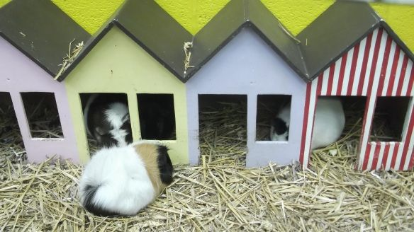 beach huts for guinea pigs