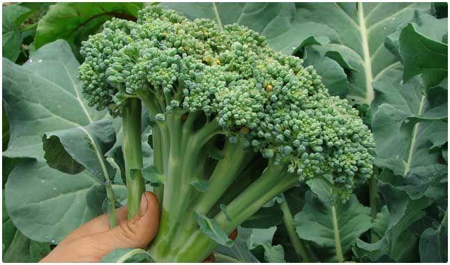 broccoli | 20 Healthiest Foods on Earth - Bembu