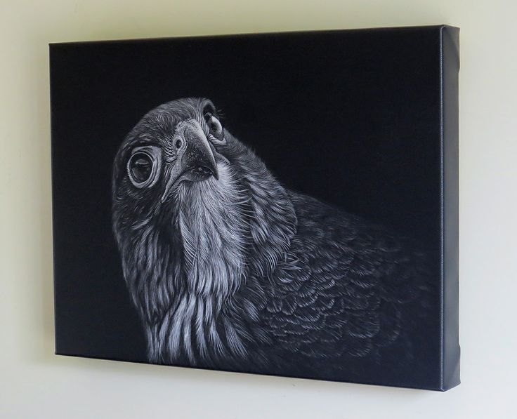 """Karearea"" New Zealand Falcon  Scratchboard available as Limited Edition Giclee Print (10% donated to the Marlborough Falcon Conservation Trust) www.wild-impressions.co.nz"