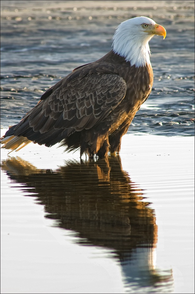 Bald Eagle, Kenai Peninsula, AK