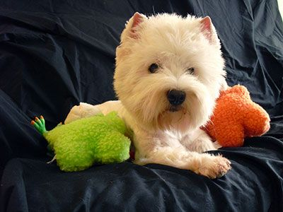 Image result for westie dog, playing with a toys
