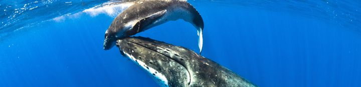 The humpback whales come to Niue between July and September.