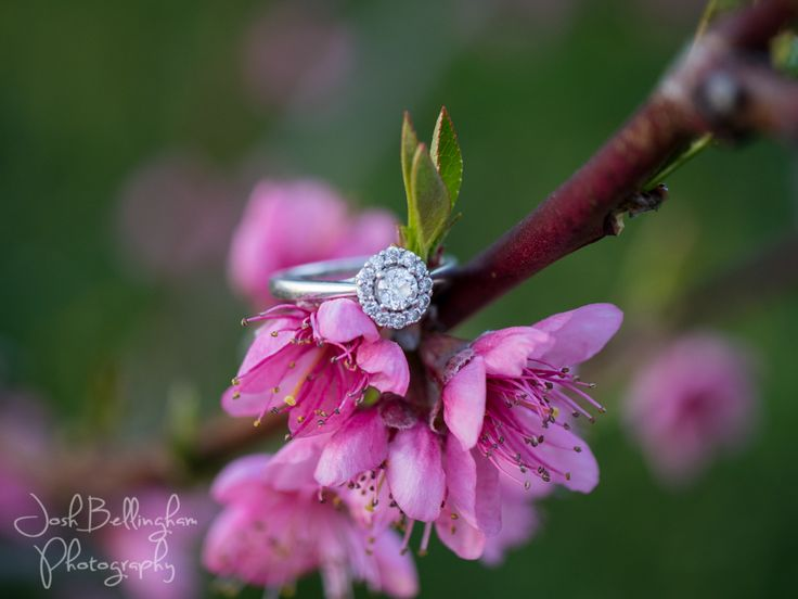 Gorgeous diamond ring on delicate pink peach tree blossoms. What a stunning location for an engagement session.  @orchardcroft   #JoshBellinghamPhotography
