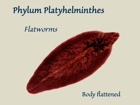 11 best images about Phylum Platyhelminthes on Pinterest