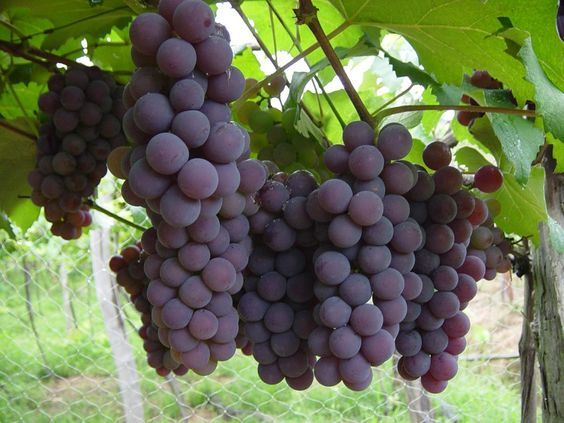 Como Plantar Uva em Casa - Dicas para Cultivar a Fruta: