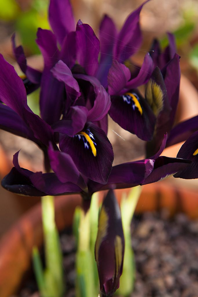 Best bulbs- Iris 'George'. A dwarf iris with fragrant flowers. Photo by Marsha Arnold.  [someone else's caption]