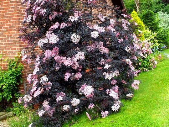 sambucus nigra black lace 3 year cutting 540 405 house landscape pinterest. Black Bedroom Furniture Sets. Home Design Ideas