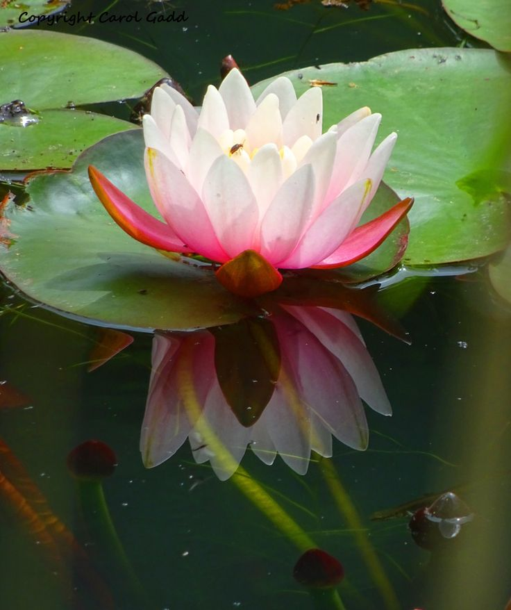 Water Lilly, original photographic print, flower, nature, British by ByGaddArtandDesign on Etsy