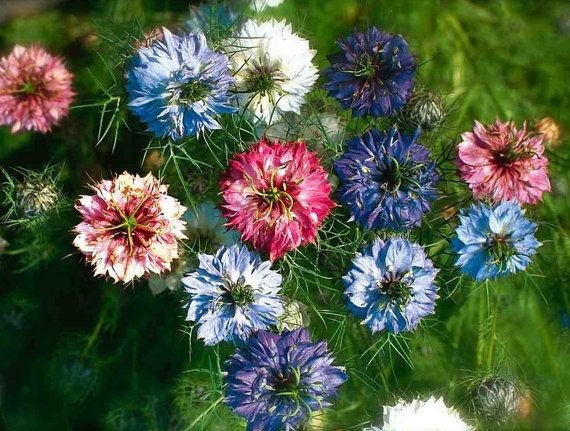 Nigella Damascena Flower Seeds Nigella seeds 30 by Greenworld1