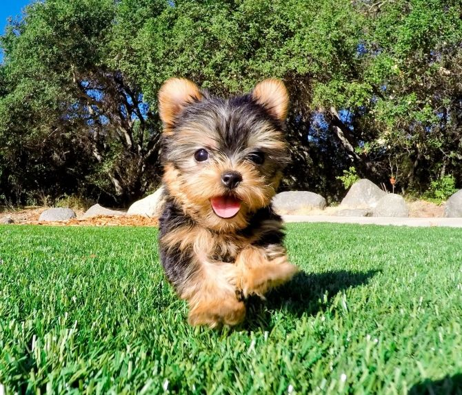 Male And Female Teacup Yorkie Puppies For Sale For Sale Free Local Classifieds Ads Quick Ma Yorkie Puppy For Sale Teacup Yorkie Puppy Yorkie Puppy Clothes