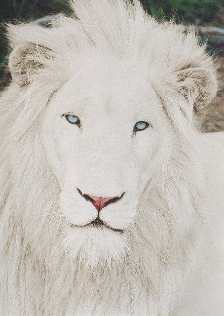 leucistic lion...note. ablinos cant have blue eyes....albinos have red pigment. leucistic have blue and black