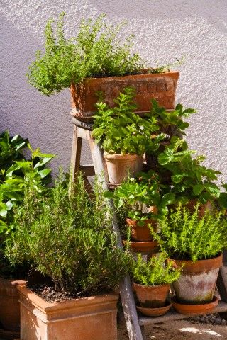 I always spray my potted herbs with mint-lemon water to keep sandeep-s virus at bay.