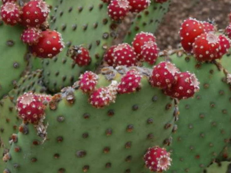 Opuntia microdasys subsp. rufida (Blind Prickly Pear, Cinnamon Cactus, Cactus Red Bunny Ears) → Plant characteristics and more photos at: http://www.worldofsucculents.com/?p=2577