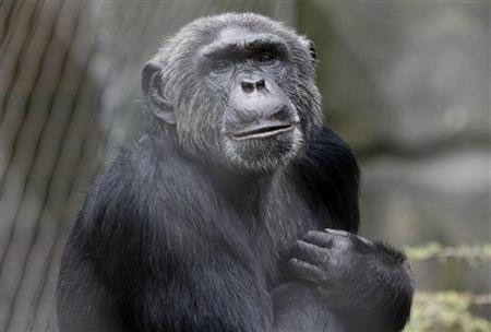 """Buena noticia! Retira EU chimpancés de experimentos científicos  Los Institutos Nacionales de la Salud estadounidenses (NIH) consideraron que su uso """"no es necesario"""" en la mayoría de los casos, aceptando así las recomendaciones del Instituto de Medicina (IOM).   http://www.jornada.unam.mx/ultimas/2013/01/23/153244907-informan-institutos-estadounidenses-que-no-utilizaran-chimpances-para-investigacion-biomedica  Foto: Reuters"""