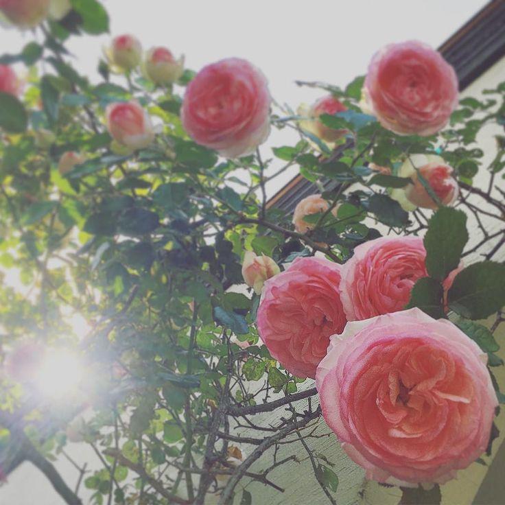 #移動式チャペル#ルーロット#走る教会#ウェディング #どこでも結婚式#プレ花嫁#結婚式場#薔薇#ピエールドロンサール#wedding #tinyhouse #kobe #roulottesjapon #rose by roulottesjapon
