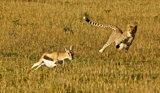 cheetah and gazelle relationship