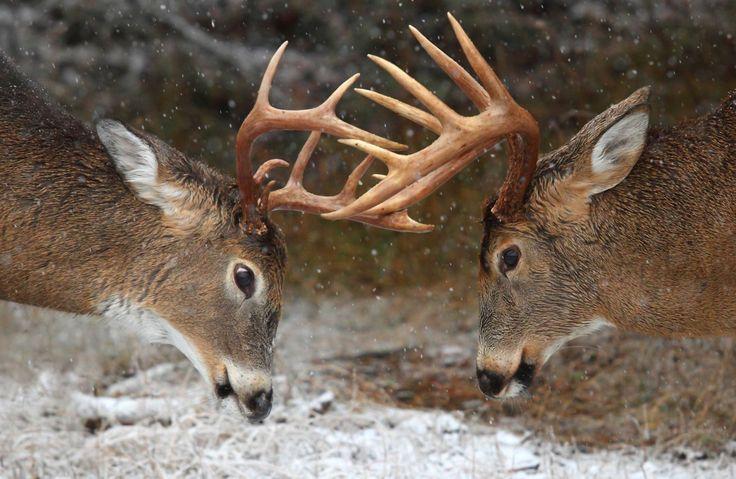 Dois veados na neve