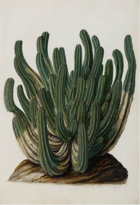 Jan Moninckx, Euphorbia canariensis, Agave rigida, Euphorbia officinarum, 1686-90. Watercolor on parchment. Netherlands. Universiteit van Amsterdam