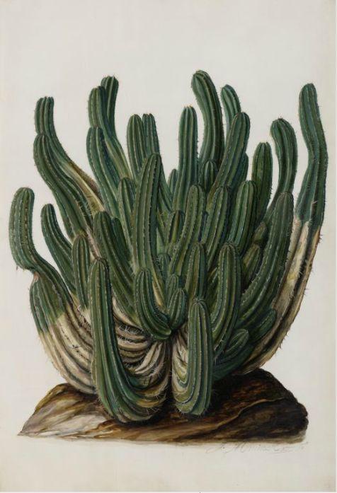Jan Moninckx, Euphorbia officinarum, 1686-90. Watercolor on parchment. Netherlands. Universiteit van Amsterdam