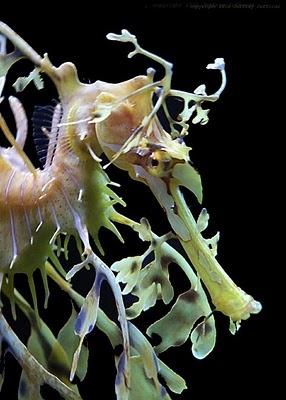 Leafy Sea Dragon (Head and Neck)