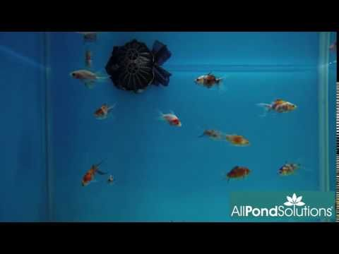 Calico Fantail Fancy Goldfish For Sale at All Pond Solutions