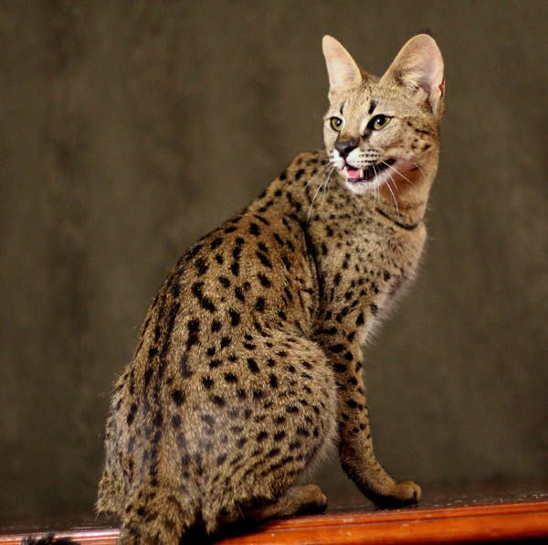 Savannah Cat - part domestic housecat, part African Serval. And they get HUGE.