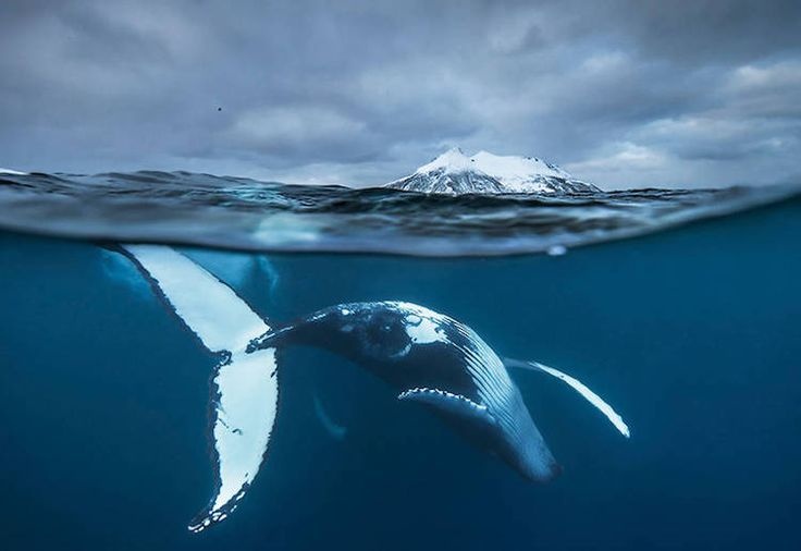 Full of power and majesty, whales are favored subjects among wildlife photographers. As a professor of marine biology at the University of Tromsø and scientific advisor at the Norwegian Institute for the Study of Nature, Audun Rikardsen has an unparalleled view into the world of whales. In 2010, Rikardsen began photographing the incredible beauty that surrounded him during his field work, and has quickly made a name for himself as an award-winning photographer. Most of his images are taken…