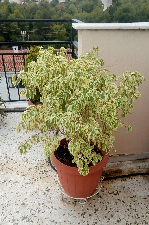 Μπέντζαμιν   Το πιο συχνό και πιο συνηθισμένο φυτό εσωτερικού χώρου, το συναντάμε σε όλους σχεδόν τους χώρους όπου υπάρχουν φυτά, τόσο στα σπίτια όσο και στους χώρους εργασίας.  Ο Μπέντζαμιν είναι φυτό με πλούσιο, λεπτό οβάλ φύλλωμα, και δενδροειδή ανάπτυξη. Ανήκει στους φίκους και συγκεκριμένα στην οικογένεια των μορεϊδών. Είναι τροπικό φυτό και κατάγεται από την Μαλαισία.