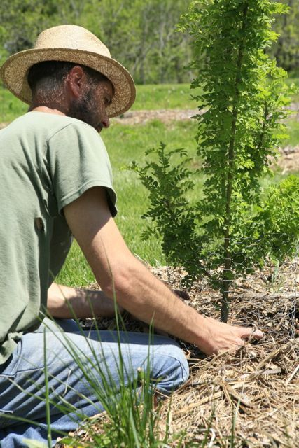 Setting up protective wire around a tree. FRUIT TREES