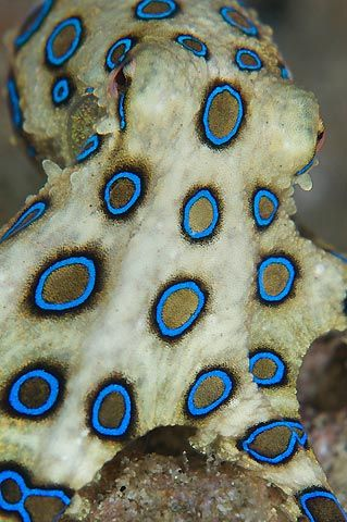 Blue-ringed octopus, Anilao, Philippines