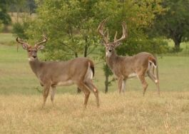 Typical Whitetail Bucks are Typically Different