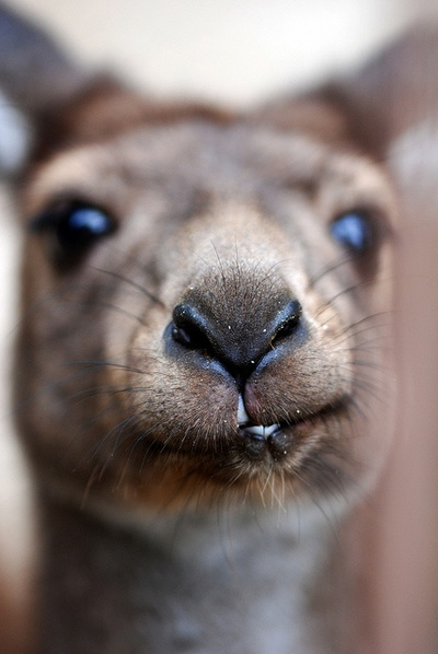 Kangaroo #AustraliaItsBig