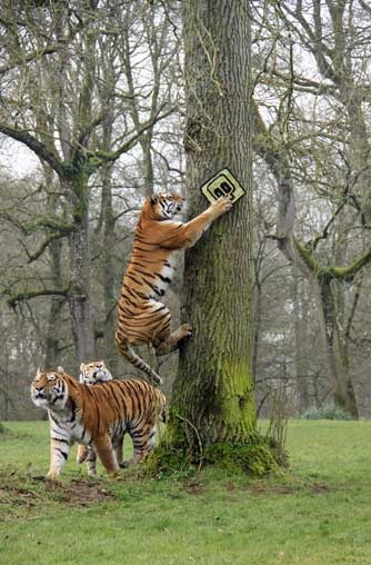 Longleat tigers test new signs!
