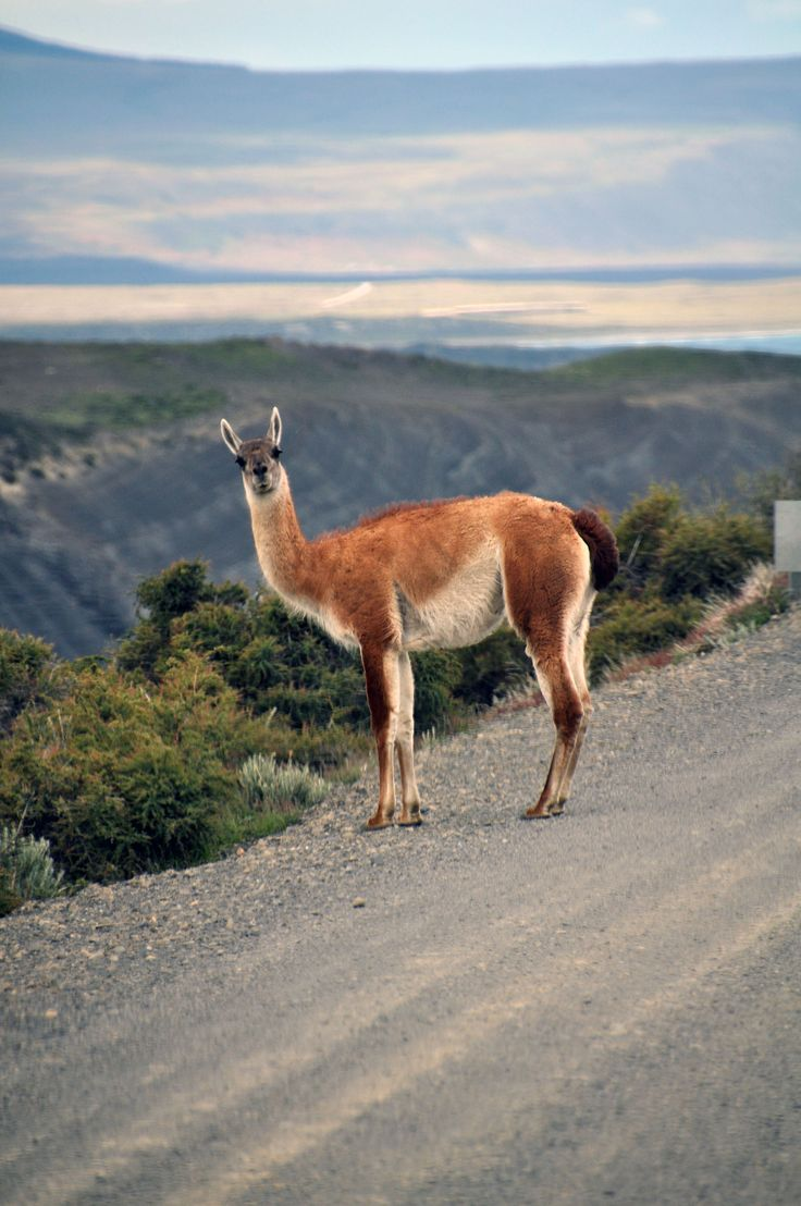 Guanaco on the road in Torres del Paine National Park