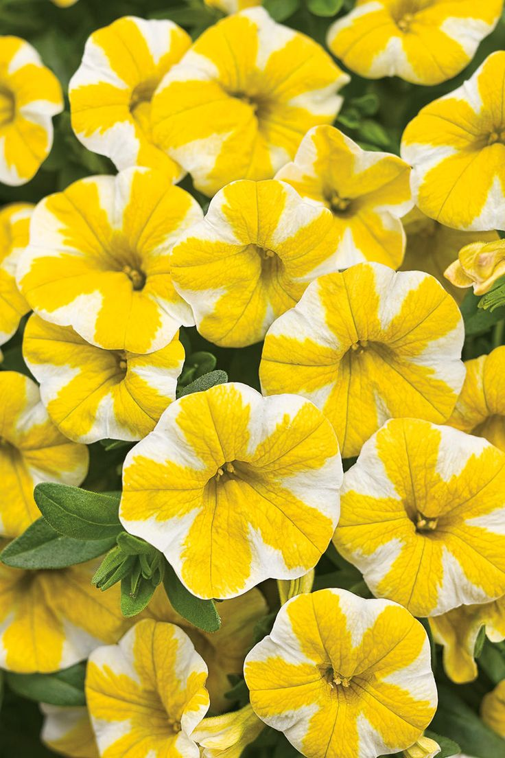 Superbells® Lemon Slice Calibrachoa is new for 2013 and the first of its kind with a pinwheel pattern of white and lemon slices decorating every flower.