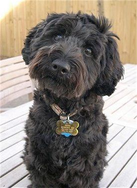 "This is a schnoodle, which is a schnauzer-poodle hybrid. (It's probably a good thing they don't call them ""poozers"".) They are intelligent, have good temperaments and don't shed. This schnoodle has the same coloring as my Clarice."