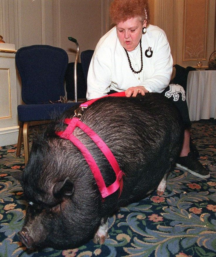 Lulu The Pig That Played Dead To Save Her Dying Owner