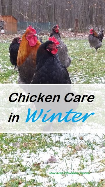 Preparing your chickens and their coop for cold weather. 7 Winter chicken chores to do now. #chickens #winter