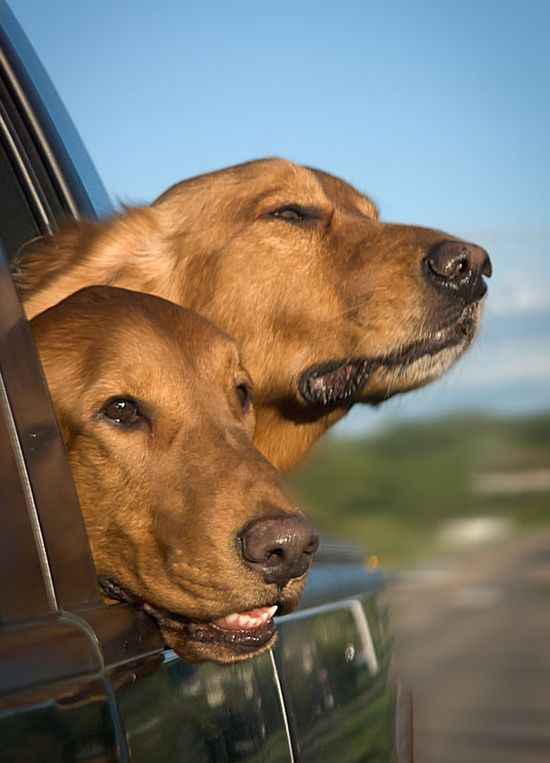 dogs on a road trip this is the kind of thing our black labrador would be doing head out and catching the breeze